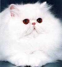 Персидские белые коты фото
